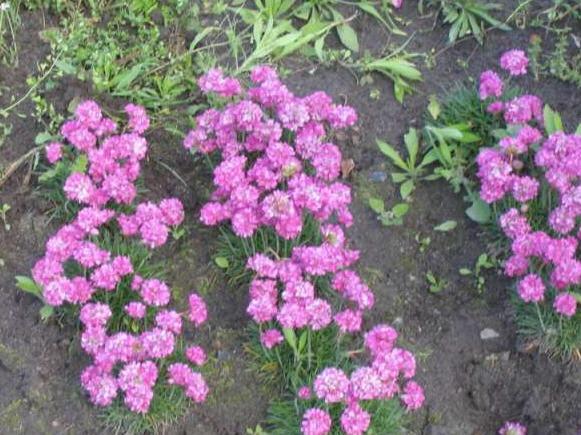 Виды почвопокровных растений против сорняков