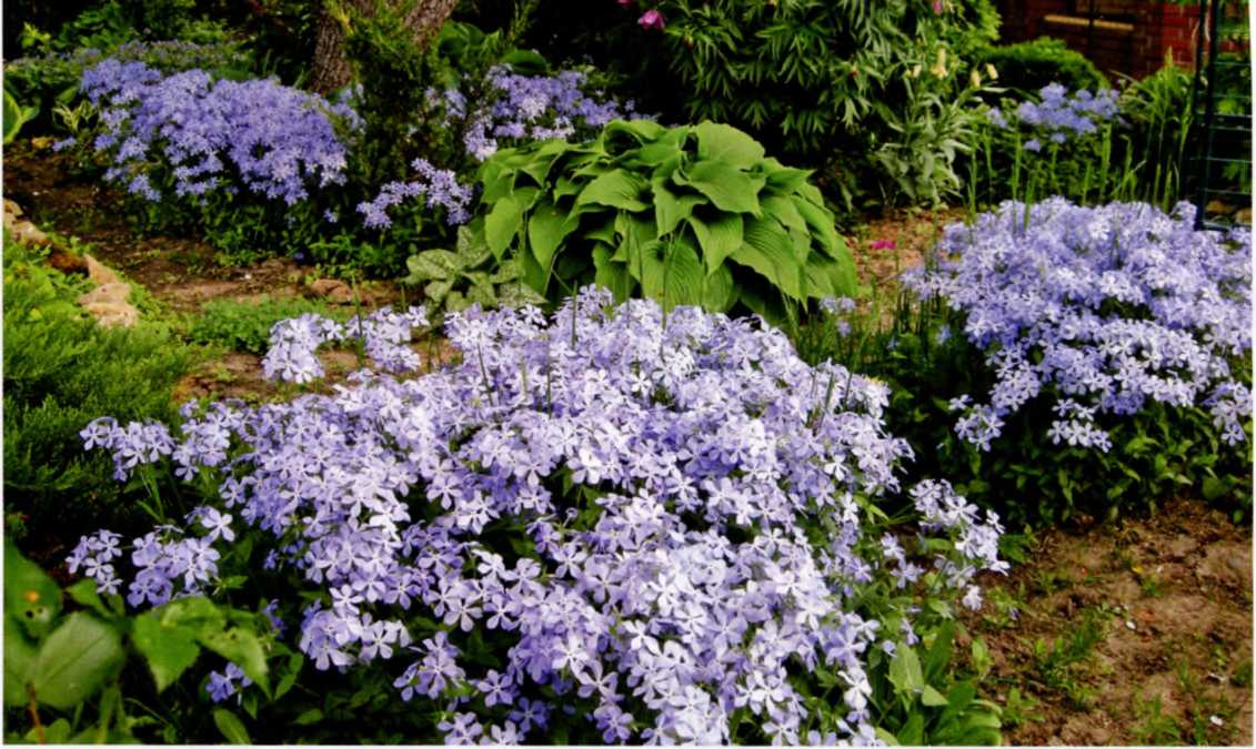 Многолетние цветы многолетние