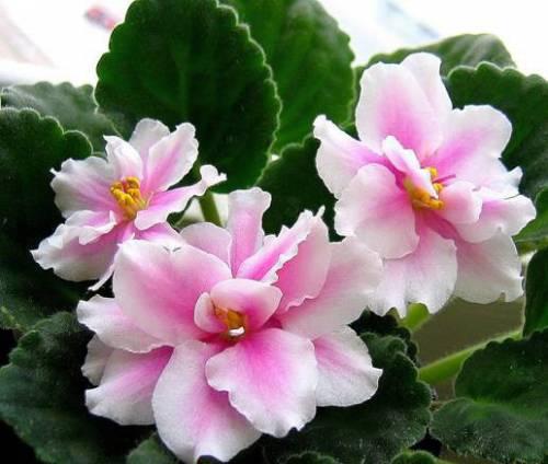 Чтобы вырастить красивое и здоровое цветущее растение, разместите фиалки на...